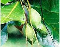 Trifala je najpopularnija biljna formula u Indiji